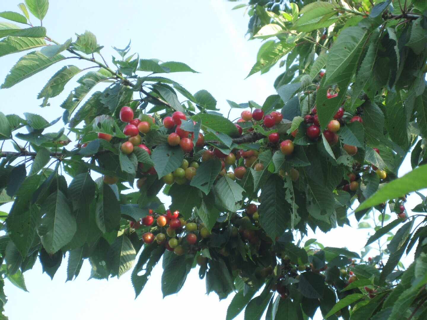 Bumper cherry crop