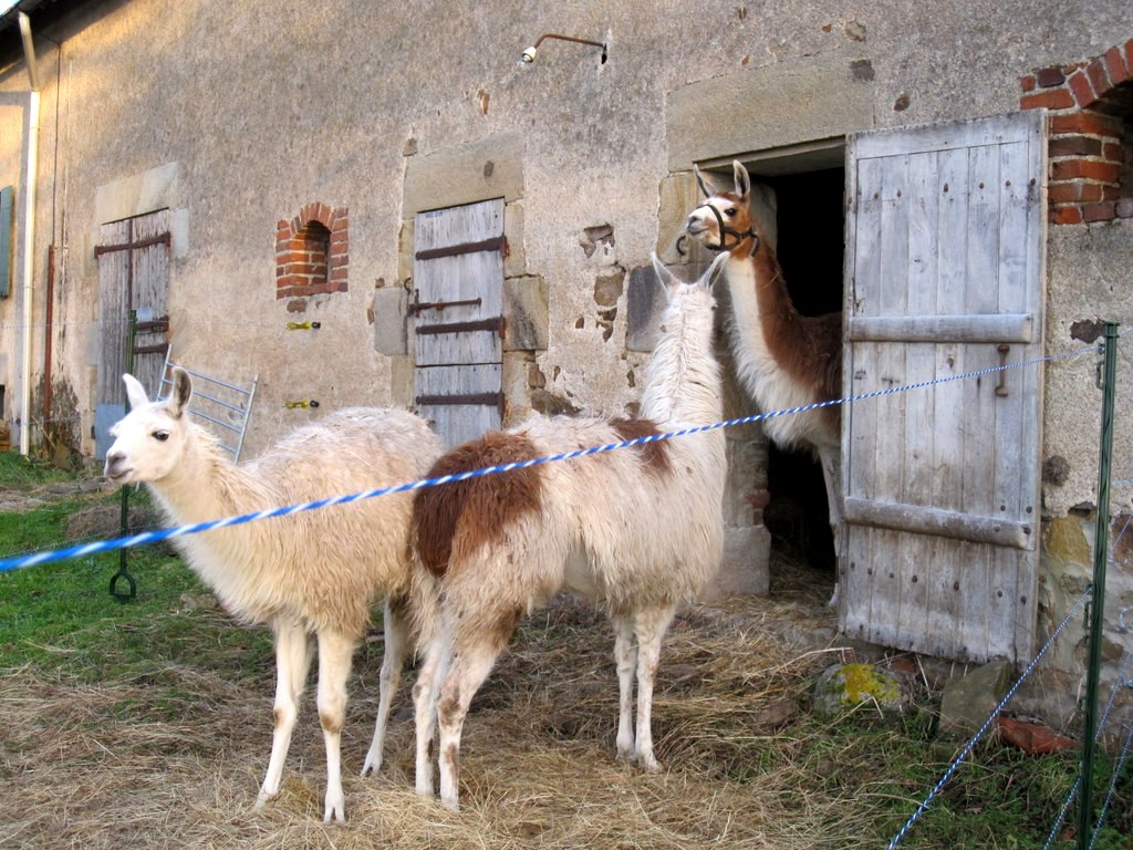 Llamas appreciating the possibility of indoor accommodation