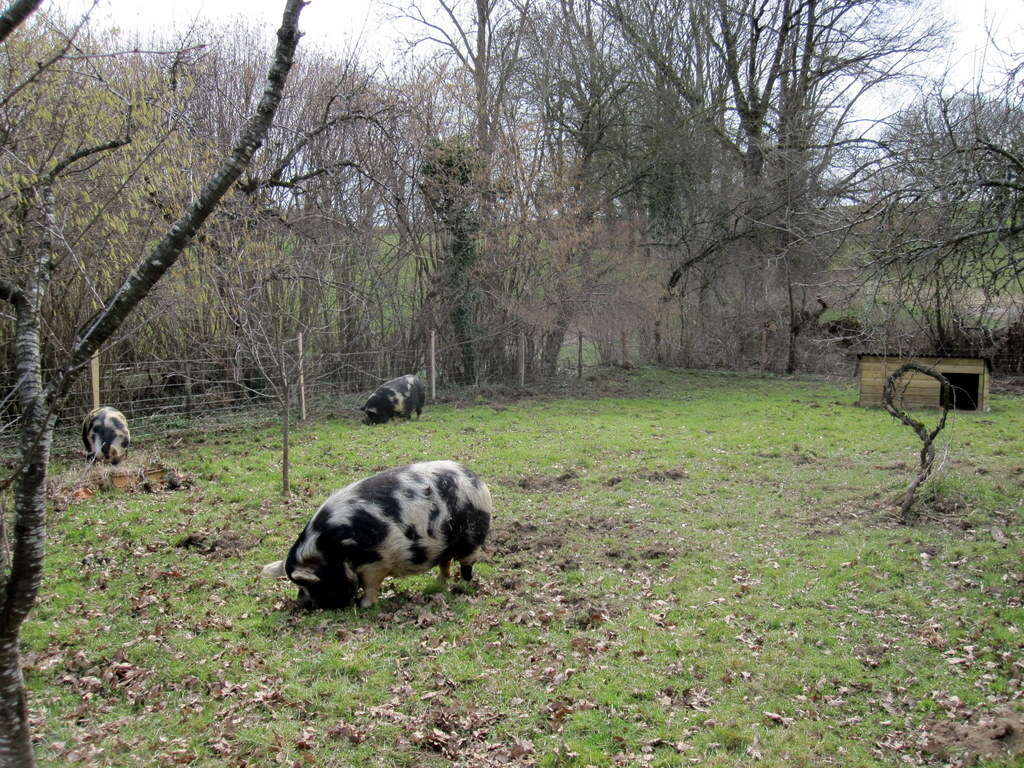 Pigs revelling in the new pen