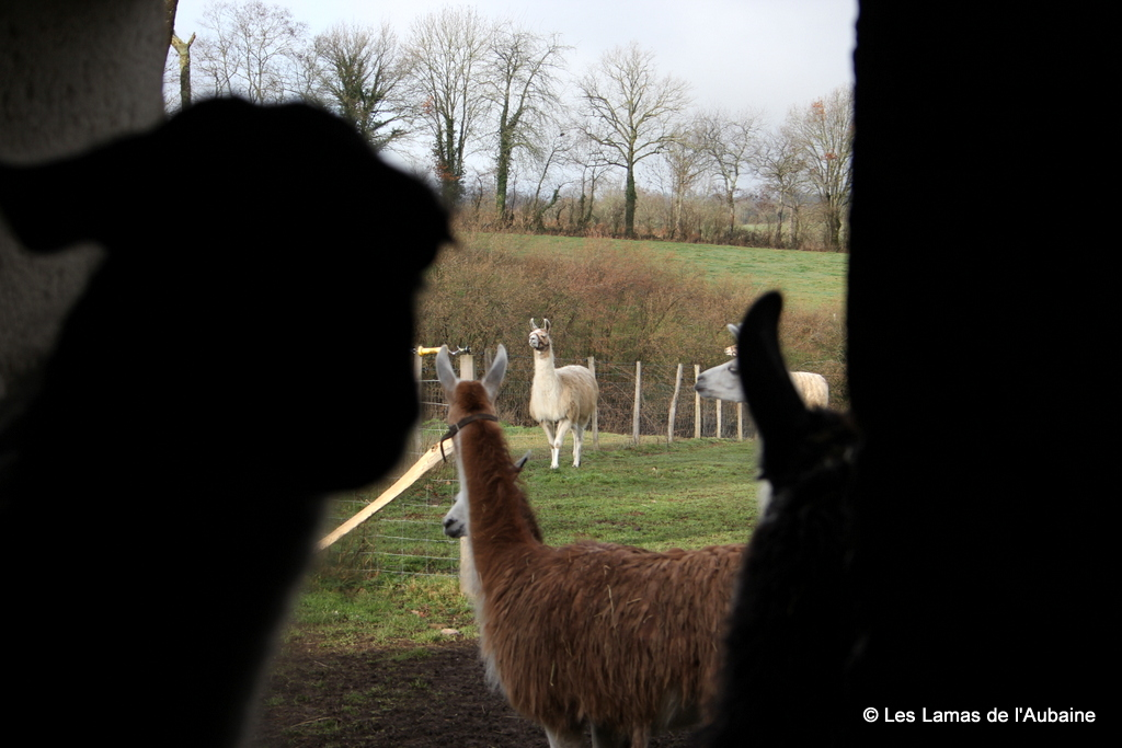 Llamas everywhere you look!