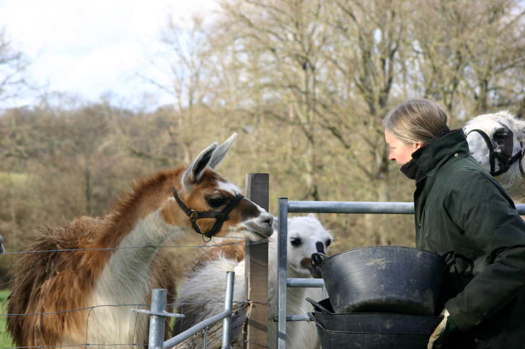 Expectant llamas greet Val with enthusiasm