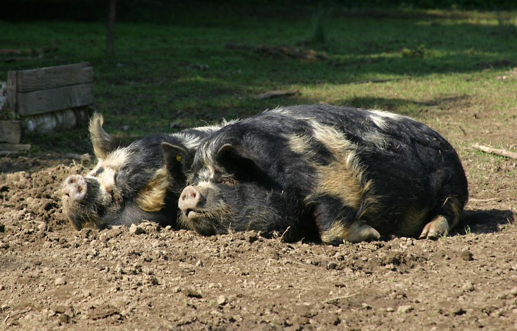 Happy summer pigs