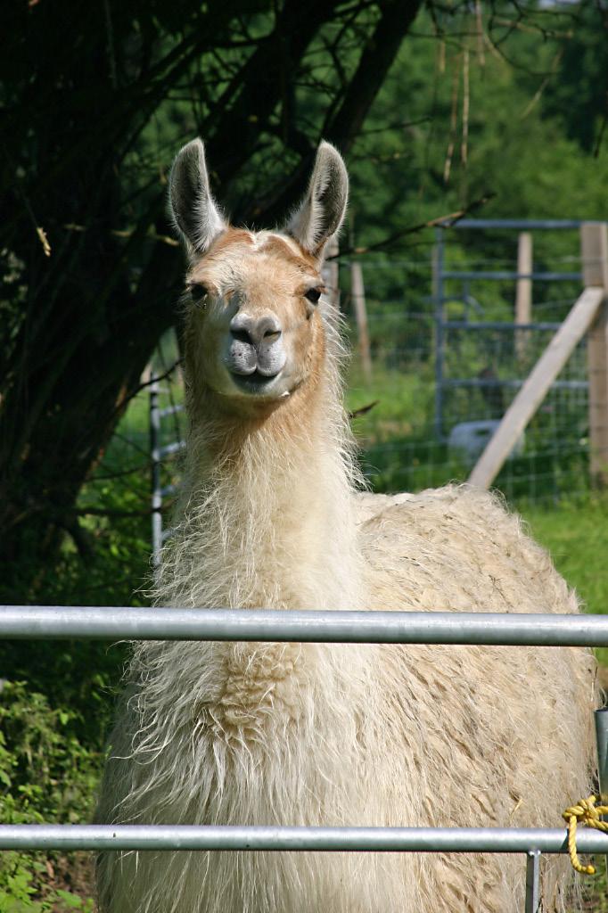Handsome summer llama