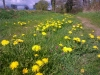 What\'s not to like about dandelions?
