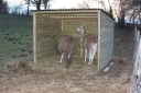 Ana and Pedro enjoying their new field shelter, now with integrated hayrack.