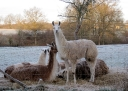 Early morning llamas