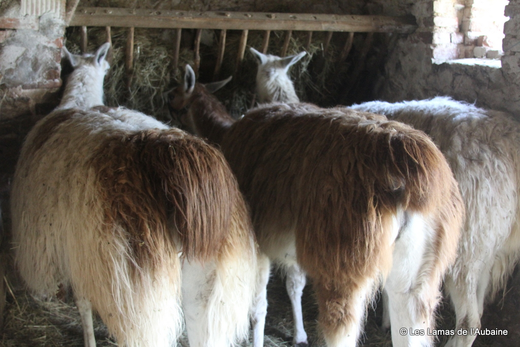 Shelter Llamas For Sale In Francellamas For Sale In France