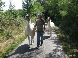 Llamas for sale as walking companions